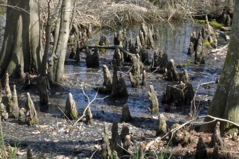 Cypress Knees Chippokes SP